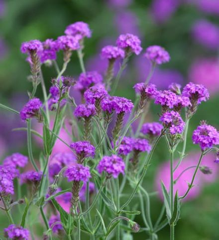 Verbena Santos Purple
